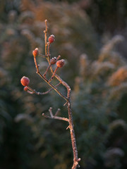 frost on hawthorn berries,  goldenrod background