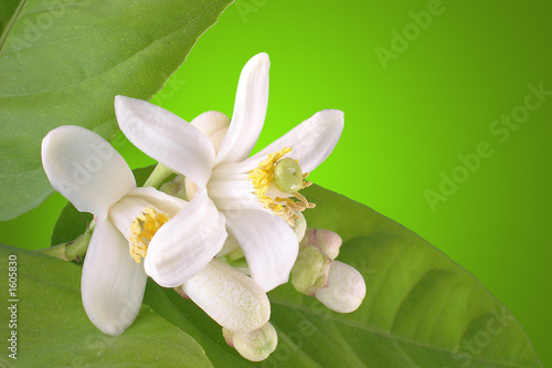 canvas print picture blooming lemon