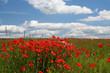 Leinwandbild Motiv landscape with poppy flowers