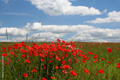 canvas print picture landscape with poppy flowers