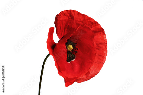 canvas print picture poppy flower