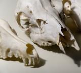 animal heads skull bones poster