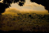 lily pads at sunset poster