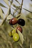 cluster of olives poster