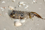 poisonous puffer fish on beach poster