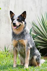 sitting profile of an australian cattle dog blue