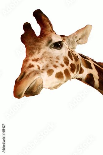 Poster giraffe isolated