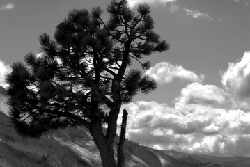black and white image of lone pine against a mountain background