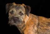 border terrier puppy poster
