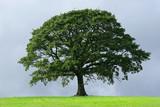 Fototapety the oak tree