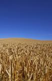 corn field in august poster
