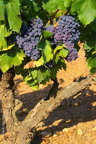 grappes de raisins rouges sur un pied de vigne photo libre de droits sur la banque d 39 images. Black Bedroom Furniture Sets. Home Design Ideas