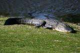 alligator possum poster