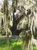 spanish moss on oak poster