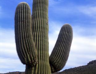 saguarocactus#6
