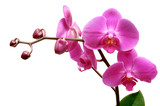 orchid - 1647431