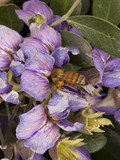 macro - insects - honey bee at work poster