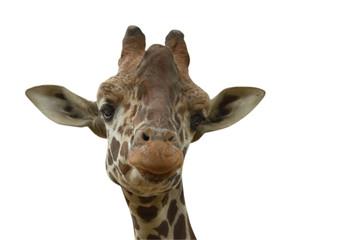 funny giraffe on white