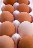 organic free range eggs poster