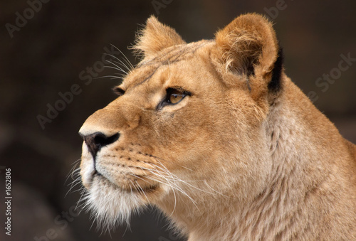 portrait of a female lion