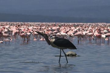 drinking marabou stork