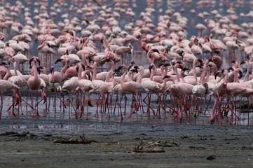 lesser flamingo's