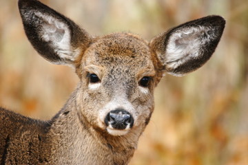 white-tail fawn close-up