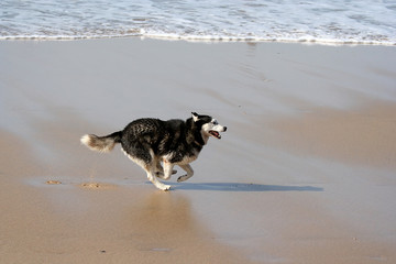 husky dog running