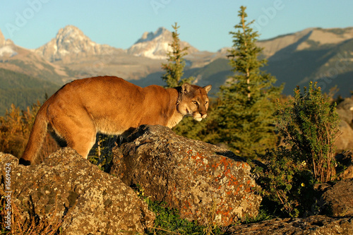 Fotobehang Puma mountain dweller