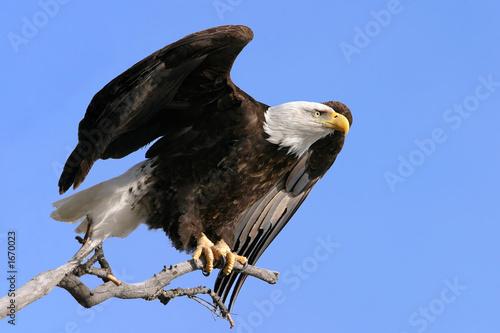 Spoed canvasdoek 2cm dik Eagle american symbol