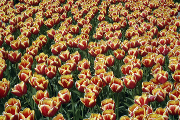 tulip patterns