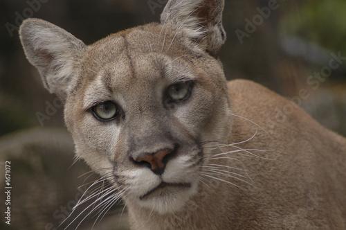 Aluminium Puma mountain lion 2