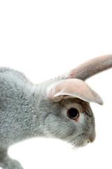 grey rabbit isolated on white