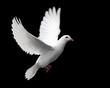 Leinwanddruck Bild - white dove in flight 1