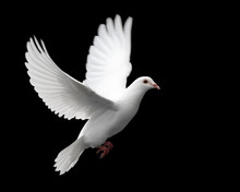 """Постер, картина, фотообои """"white dove in flight 1"""""""