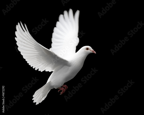 Fotobehang Vogel white dove in flight 1