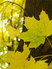 autumn sugar maple leaves against bark