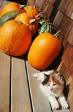 kitten and pumpkins poster