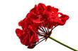 Leinwandbild Motiv red geranium