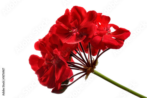 canvas print picture red geranium