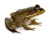 green frog - 1676613