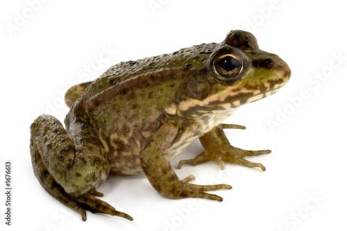 Tuinposter Kikker green frog