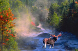 bull moose in stream poster