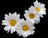 flower voting mark poster