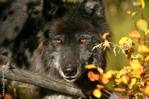 Papiers peints Loup black wolf