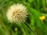blow-balls of sow-thistle poster