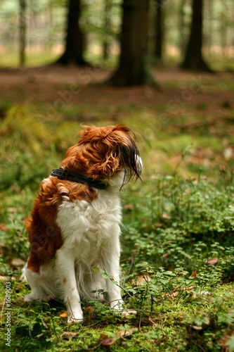 kooijker dog in a forest