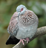 speckled pigeon-columbia guinea poster
