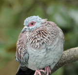 speckled pigeon-columbia guinea 3 poster