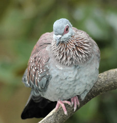 speckeled pigeon